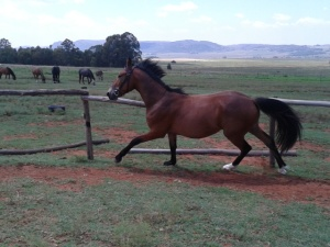 Thunder as a two-year-old in my well-loved lungeing ring