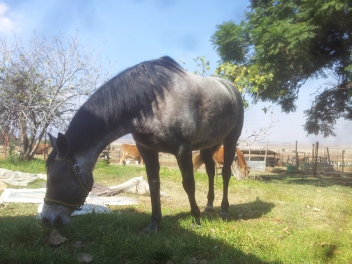 Firn Hyde's yak