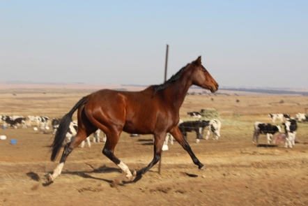 Who says thoroughbreds can't trot?